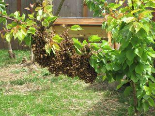 Swarm in apricot