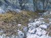 Rockweed